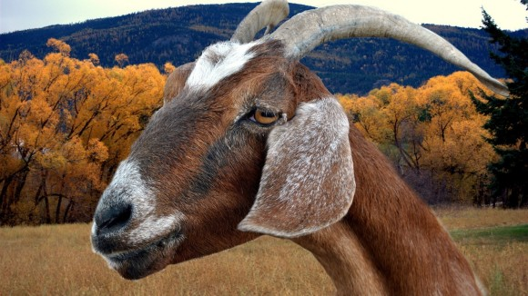 Exactly this many goats in america population - neurodope.com