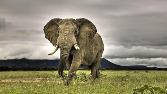 African Elephants largest animals neurodope.com