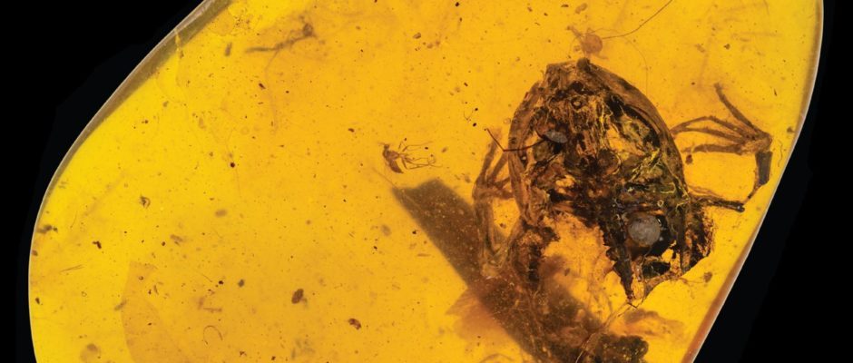 99-million-year-old Rain Forest Frogs Found in Amber