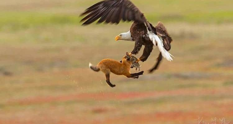 Incredible Wildlife Photo Capture Eagle and Fox Fighting Over Rabbit